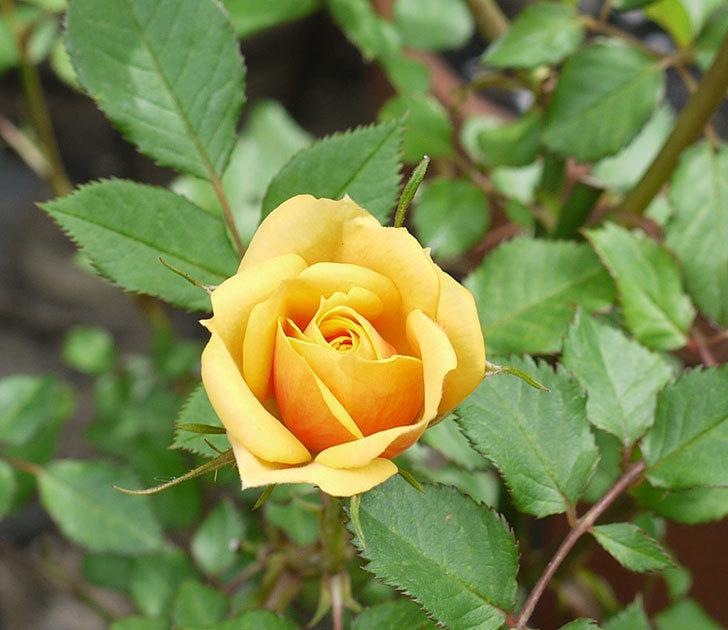 ライズンシャイン(ミニバラ)が咲きだした。2017年-3.jpg