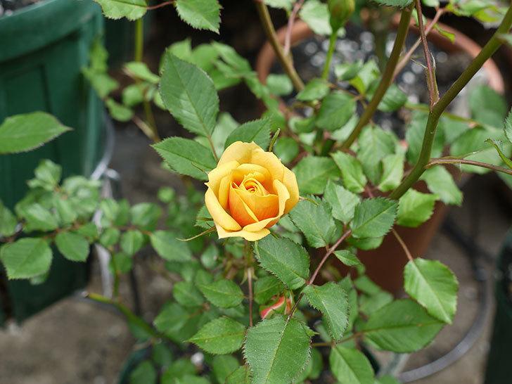 ライズンシャイン(ミニバラ)が咲きだした。2017年-4.jpg