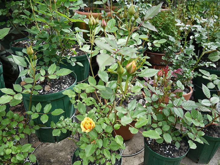 ライズンシャイン(ミニバラ)が咲きだした。2017年-5.jpg