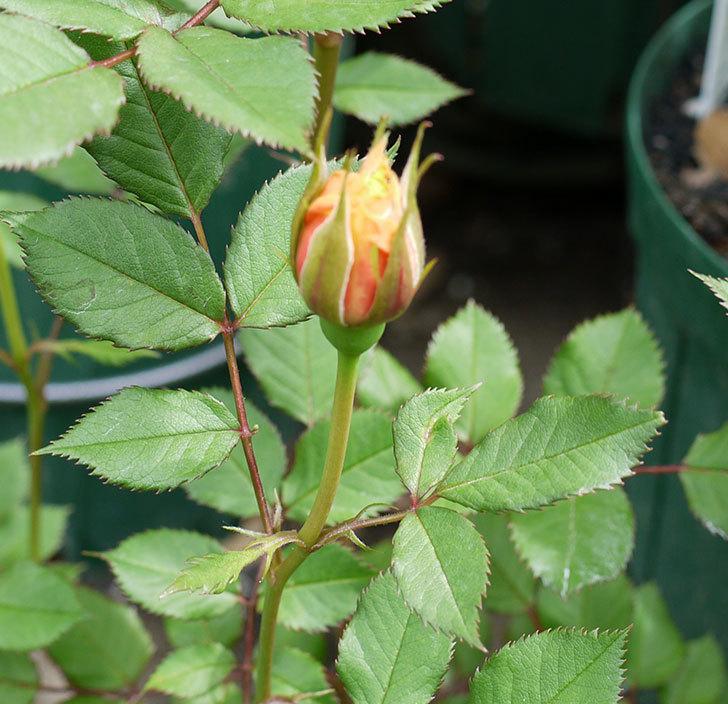 ライズンシャイン(ミニバラ)が咲きだした。2017年-6.jpg