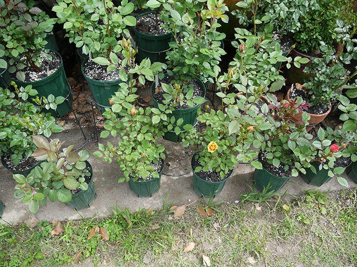 ライズンシャイン(ミニバラ)が咲きだした。2017年-7.jpg