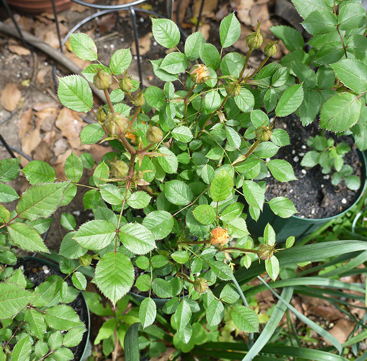 ライズンシャイン(ミニバラ)が咲きだした。2017年-9.jpg