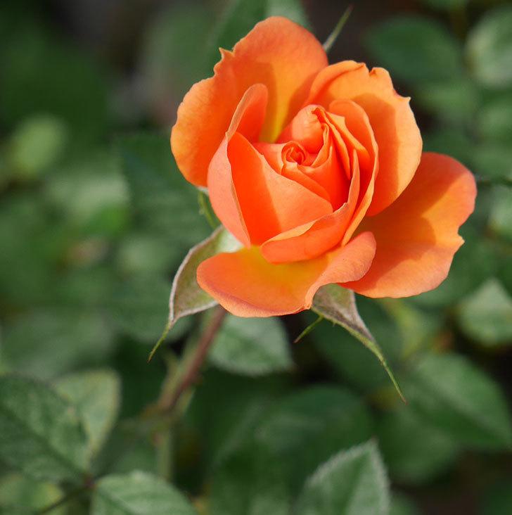 ライズンシャイン(ミニバラ)にオレンジの花が咲いた。2018年-1.jpg