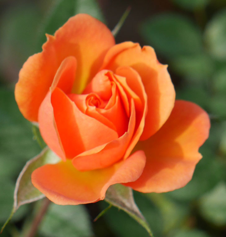 ライズンシャイン(ミニバラ)にオレンジの花が咲いた。2018年-2.jpg