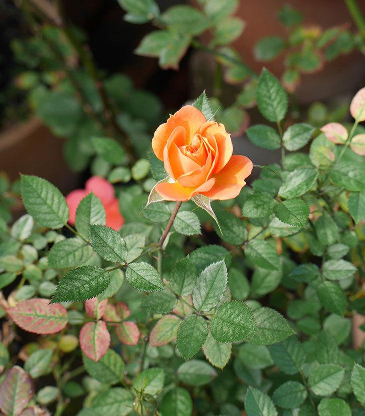 ライズンシャイン(ミニバラ)にオレンジの花が咲いた。2018年-3.jpg