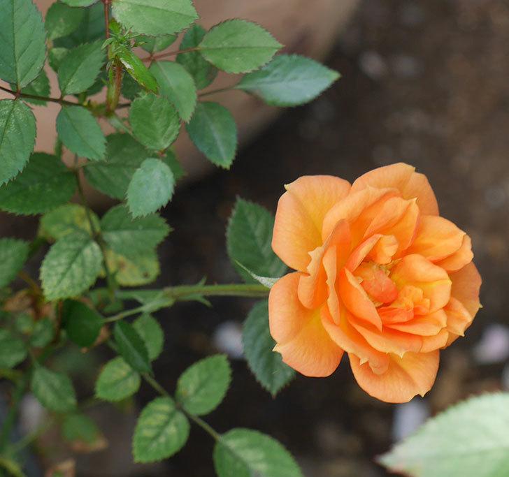 ライズンシャイン(ミニバラ)にオレンジの花が咲いた。2018年-4.jpg