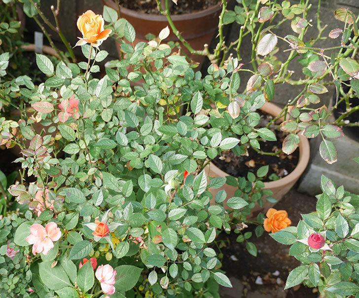 ライズンシャイン(ミニバラ)にオレンジの花が咲いた。2018年-5.jpg