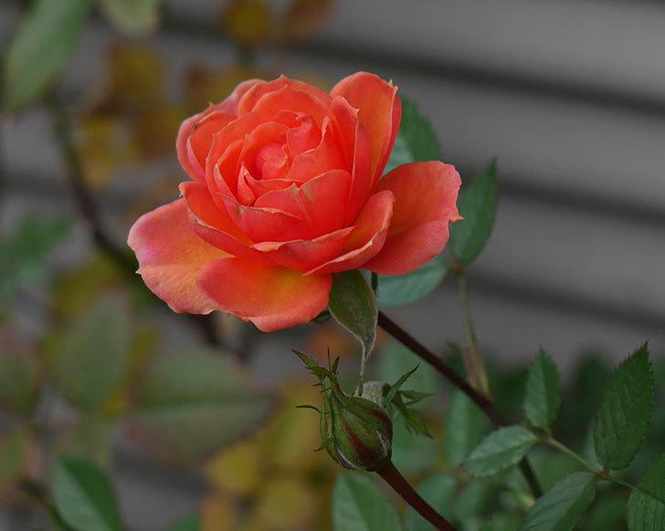 ライズンシャイン(ミニバラ)にオレンジの花が咲いた。2019年-1.jpg