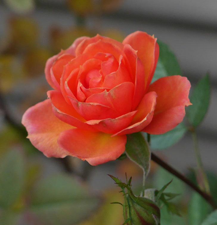 ライズンシャイン(ミニバラ)にオレンジの花が咲いた。2019年-2.jpg