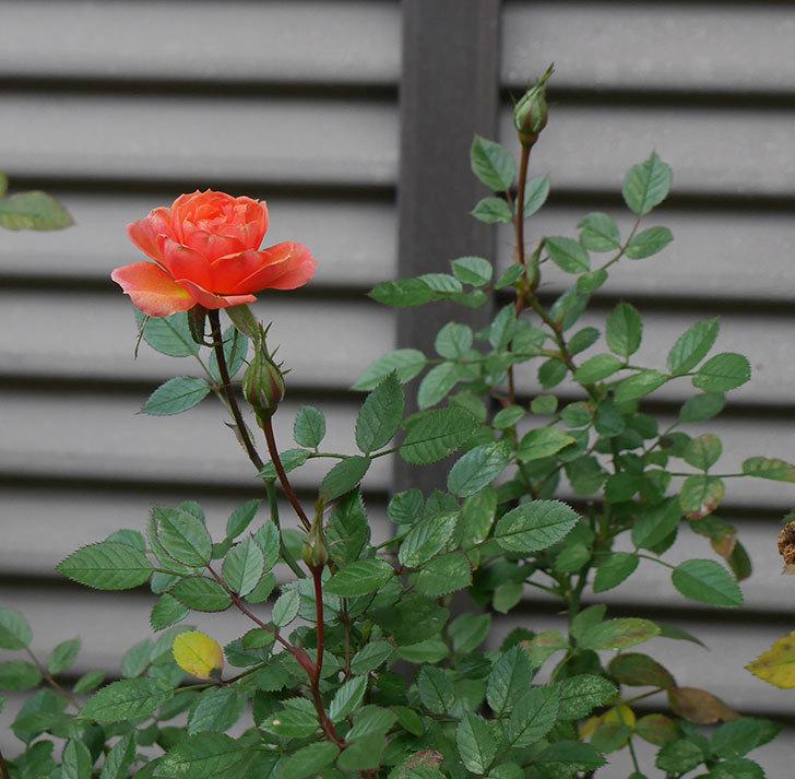 ライズンシャイン(ミニバラ)にオレンジの花が咲いた。2019年-3.jpg