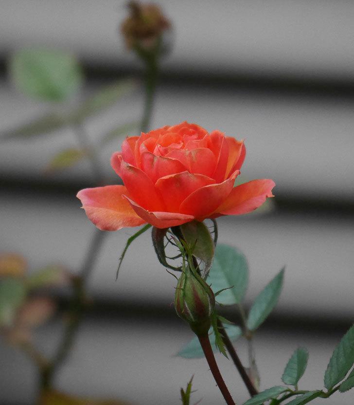 ライズンシャイン(ミニバラ)にオレンジの花が咲いた。2019年-5.jpg