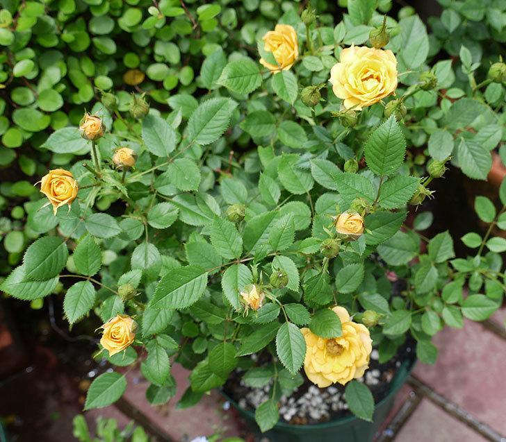 ライズンシャイン(ミニバラ)の2番花が咲いた。2017年-1.jpg