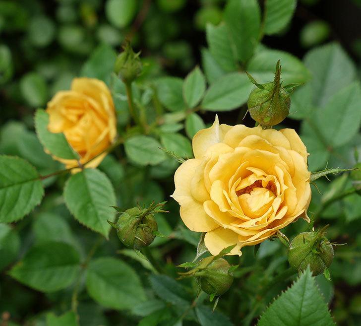 ライズンシャイン(ミニバラ)の2番花が咲いた。2017年-2.jpg