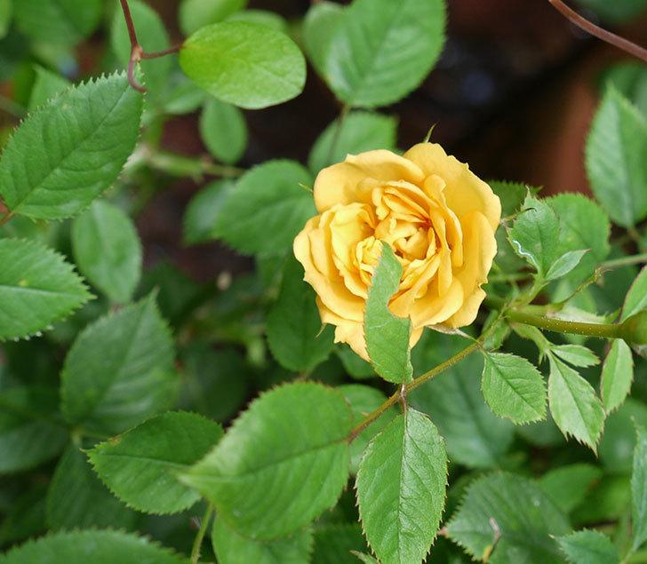 ライズンシャイン(ミニバラ)の2番花が咲いた。2017年-3.jpg