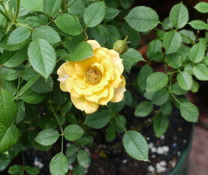 ライズンシャイン(ミニバラ)の2番花が咲いた。2017年-4.jpg