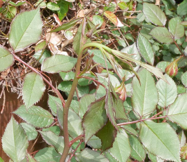 ライズンシャイン(ミニバラ)の新枝が1本バラクキバチにやられて萎れた。2019年-1.jpg
