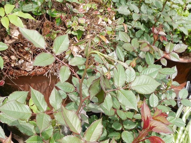 ライズンシャイン(ミニバラ)の新枝が1本バラクキバチにやられて萎れた。2019年-2.jpg