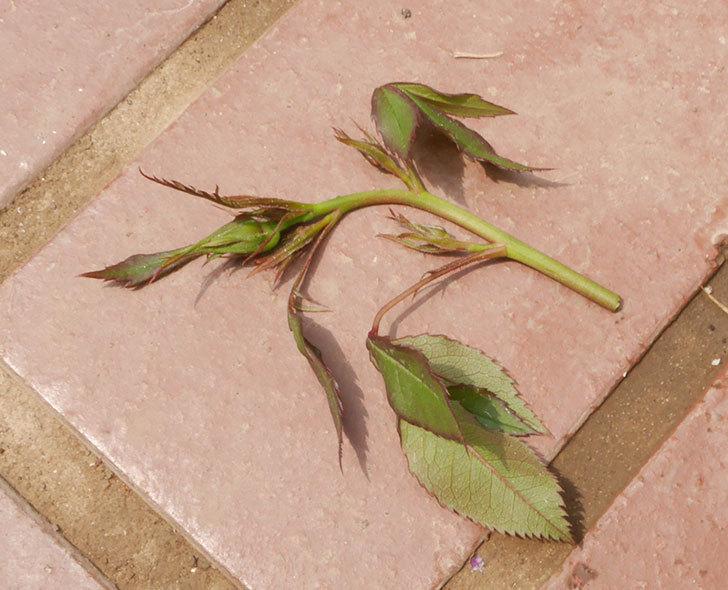 ライズンシャイン(ミニバラ)の新枝が1本バラクキバチにやられて萎れた。2019年-3.jpg