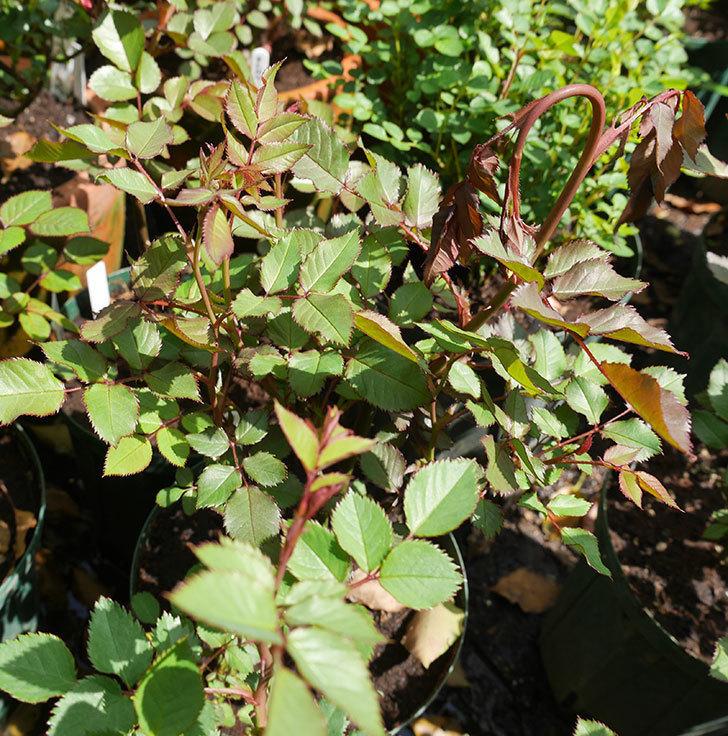 ライズンシャイン(ミニバラ)の新芽がバラクキバチにやられて萎れてしまった。2018年-4.jpg
