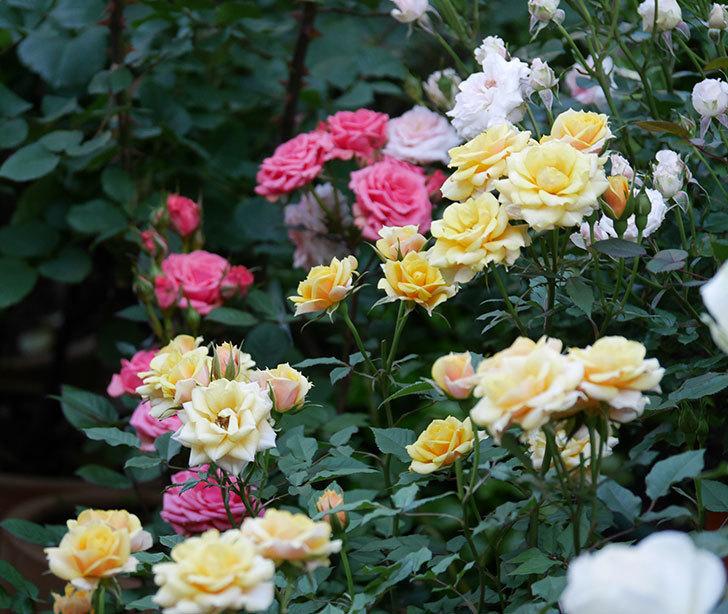 ライズンシャイン(ミニバラ)の花がたくさん咲いた。2020年-1.jpg