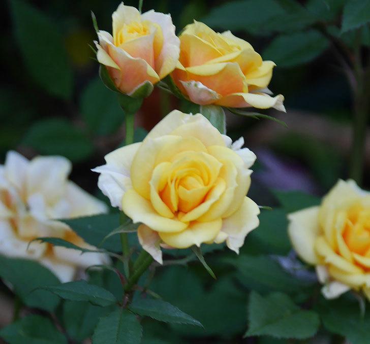 ライズンシャイン(ミニバラ)の花がたくさん咲いた。2020年-3.jpg