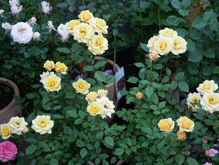 ライズンシャイン(ミニバラ)の花がたくさん咲いた。2020年-4.jpg