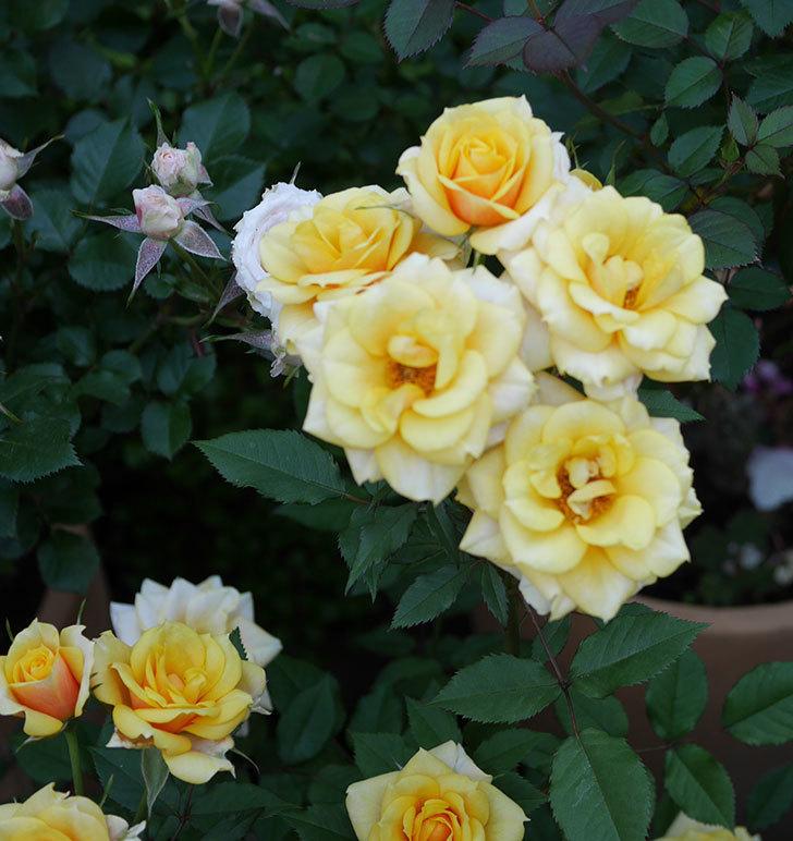 ライズンシャイン(ミニバラ)の花がたくさん咲いた。2020年-5.jpg