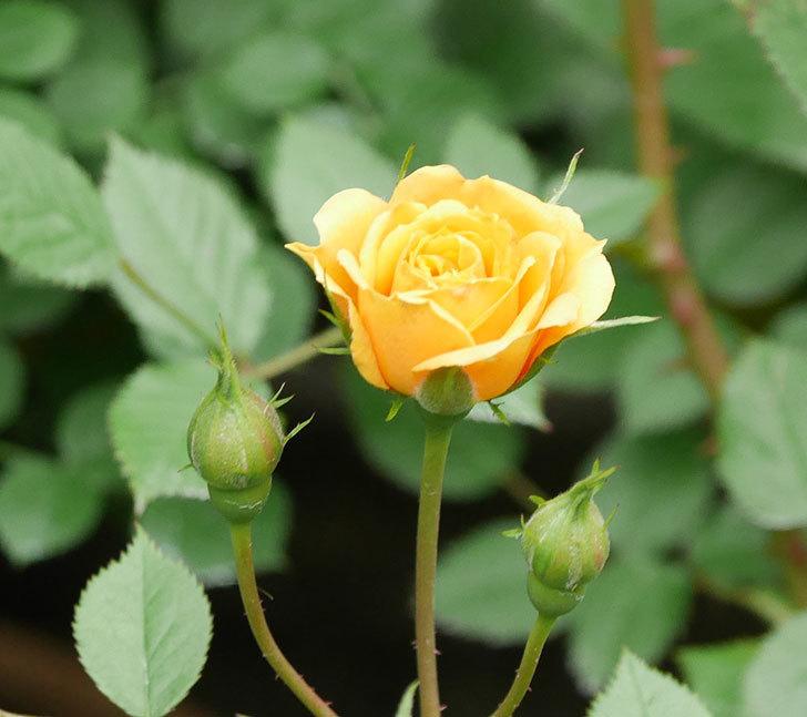 ライズンシャイン(ミニバラ)の花が咲いた。2018年-10.jpg