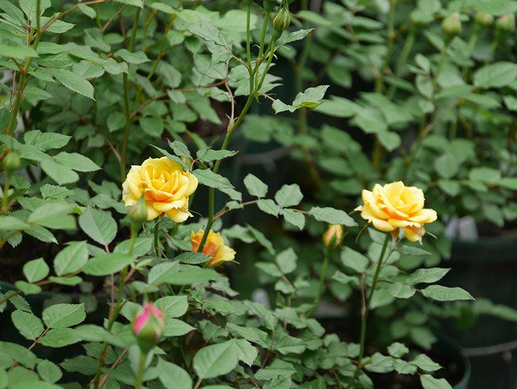 ライズンシャイン(ミニバラ)の花が咲いた。2018年-11.jpg
