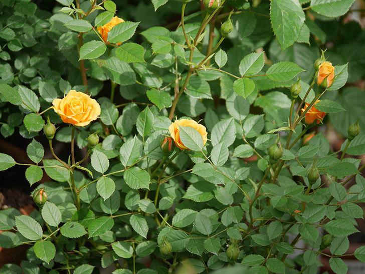 ライズンシャイン(ミニバラ)の花が咲いた。2018年-12.jpg