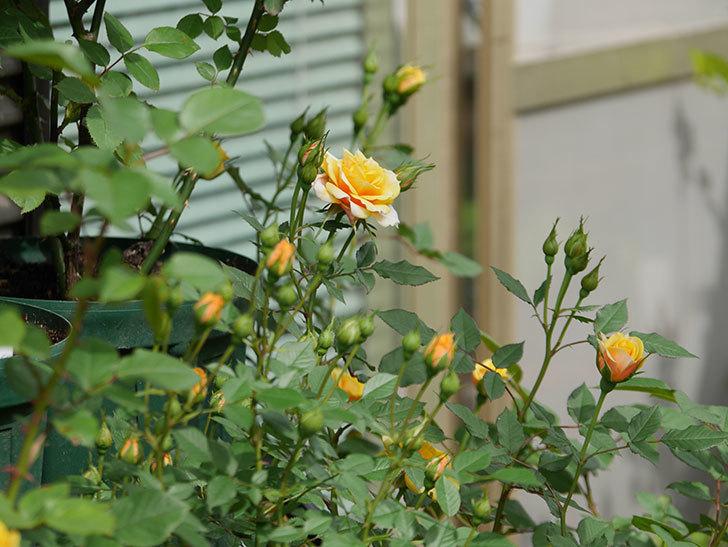 ライズンシャイン(ミニバラ)の花が咲いた。2018年-13.jpg