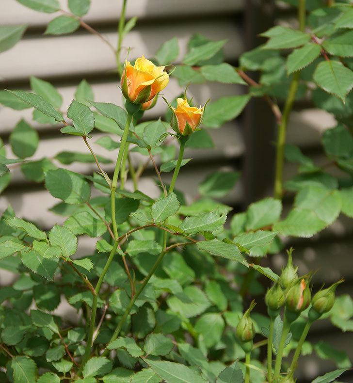 ライズンシャイン(ミニバラ)の花が咲いた。2018年-14.jpg