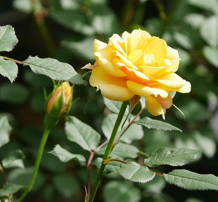 ライズンシャイン(ミニバラ)の花が咲いた。2018年-15.jpg
