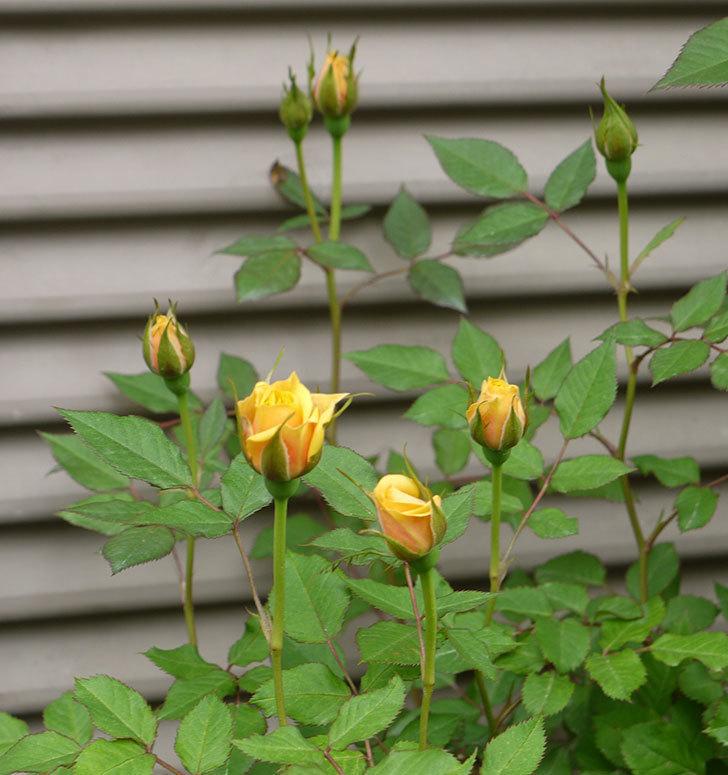 ライズンシャイン(ミニバラ)の花が咲いた。2018年-5.jpg