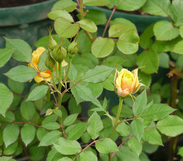 ライズンシャイン(ミニバラ)の花が咲いた。2018年-6.jpg