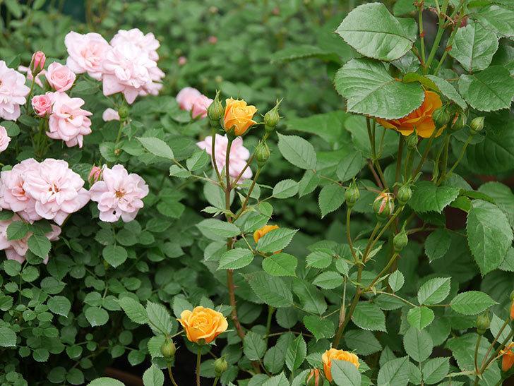 ライズンシャイン(ミニバラ)の花が咲いた。2018年-9.jpg