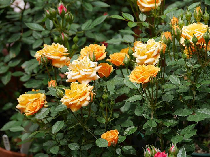 ライズンシャイン(ミニバラ)の花が増えて来た。2019年-1.jpg