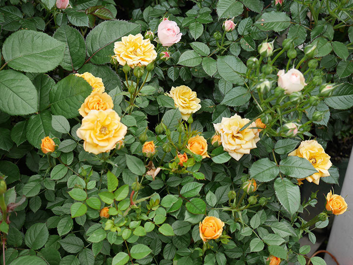 ライズンシャイン(ミニバラ)の花が増えて来た。2019年-10.jpg