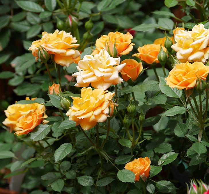 ライズンシャイン(ミニバラ)の花が増えて来た。2019年-2.jpg