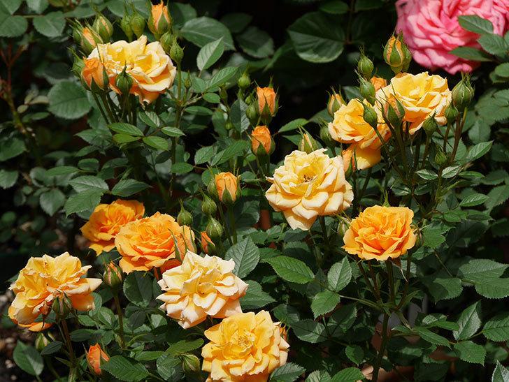 ライズンシャイン(ミニバラ)の花が増えて来た。2019年-3.jpg