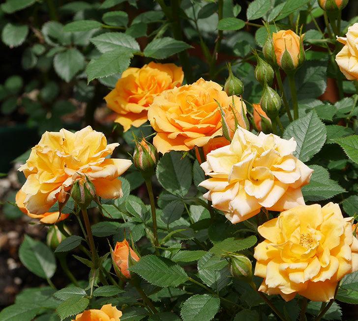 ライズンシャイン(ミニバラ)の花が増えて来た。2019年-4.jpg