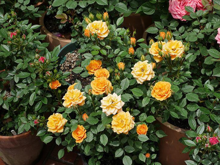 ライズンシャイン(ミニバラ)の花が増えて来た。2019年-5.jpg