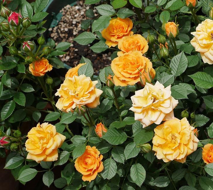 ライズンシャイン(ミニバラ)の花が増えて来た。2019年-6.jpg
