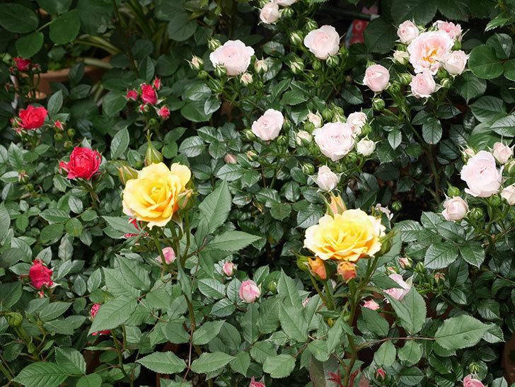 ライズンシャイン(ミニバラ)の花が増えて来た。2019年-7.jpg