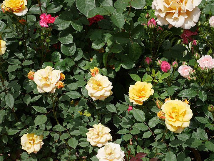 ライズンシャイン(ミニバラ)の花が増えて来た。2019年-8.jpg