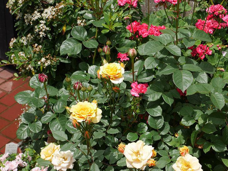 ライズンシャイン(ミニバラ)の花が増えて来た。2019年-9.jpg