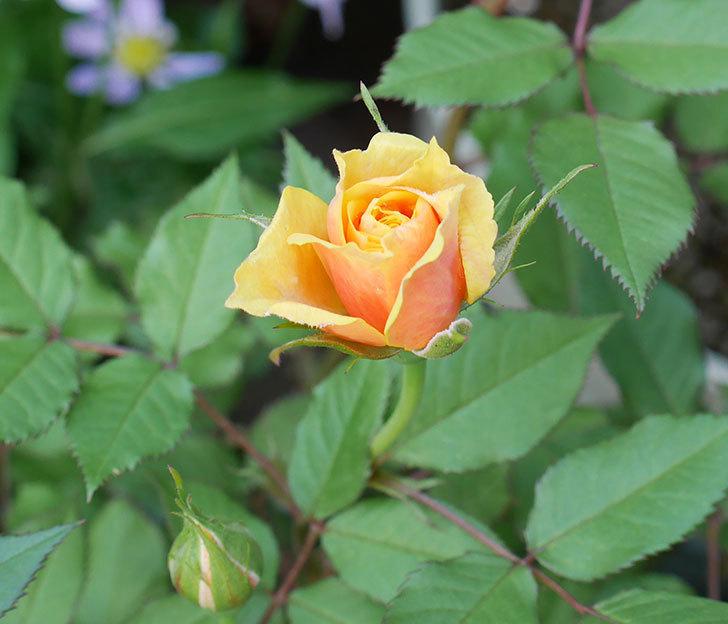 ライズンシャイン(ミニバラ)の花が少し咲いた。2018年-1.jpg