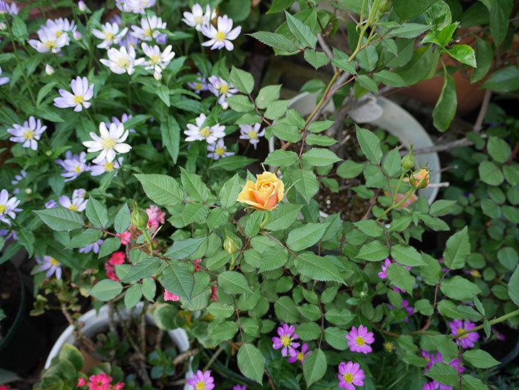 ライズンシャイン(ミニバラ)の花が少し咲いた。2018年-2.jpg