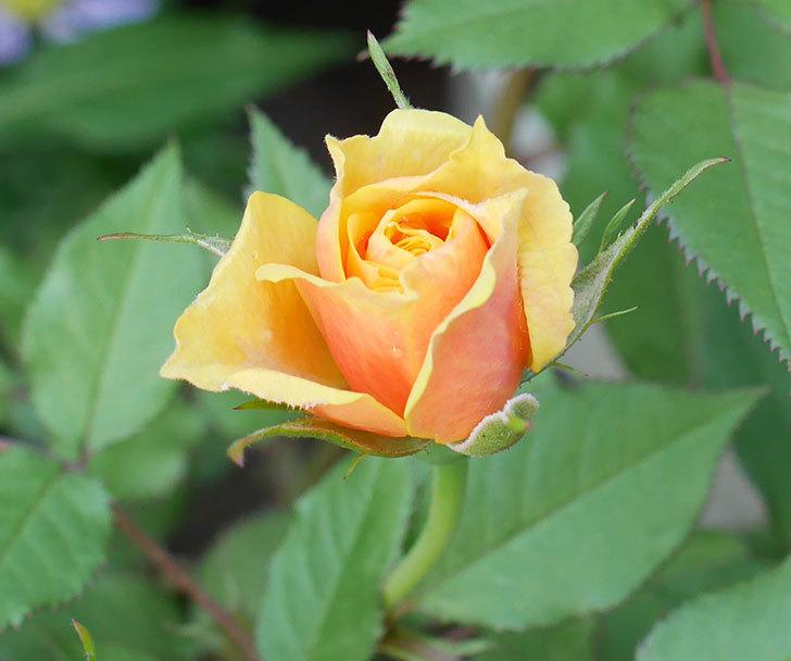 ライズンシャイン(ミニバラ)の花が少し咲いた。2018年-3.jpg