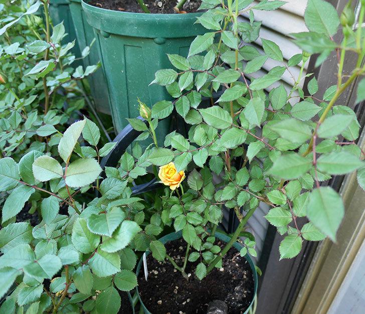 ライズンシャイン(ミニバラ)の花が少し咲いた。2018年-4.jpg